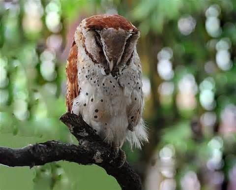 Bay owl More on Phodilus