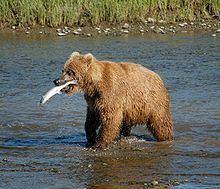Bear httpsuploadwikimediaorgwikipediacommonsthu
