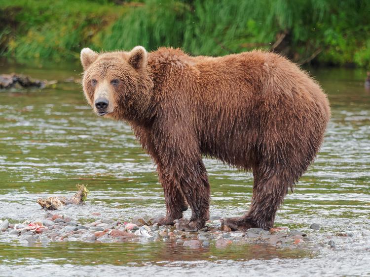 Bear bear Sick Chirpse