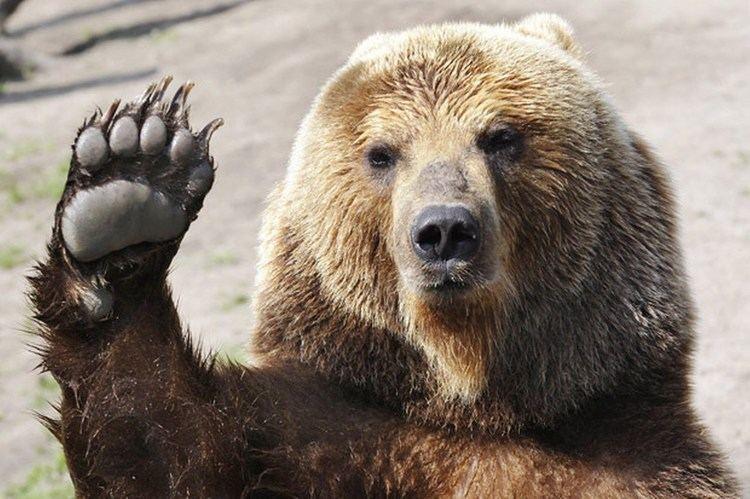 Bear Bears Godless Mean Killing Machines Wikiality