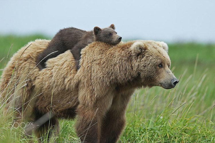 Bear 15 UnBearAbly Cute Momma Bears Teaching Their Teddy Bears How To