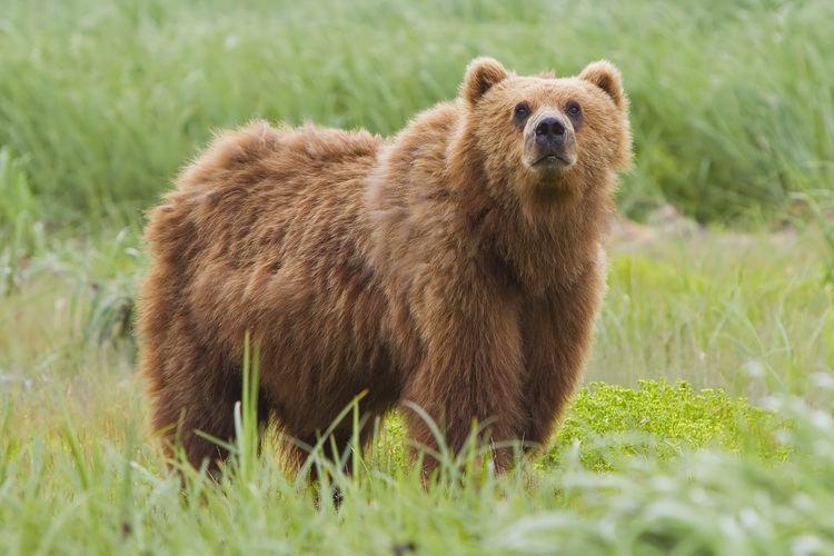 Bear Brown bear Wikipedia