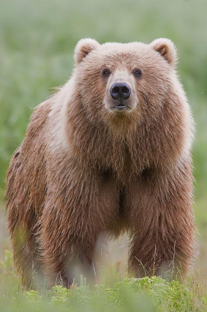 Bear Bear Wikipedia