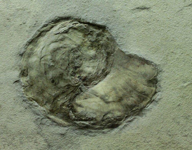 Bear Gulch Limestone Bear Gulch Coiled Cephalopod Fossil