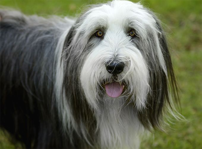 Bearded Collie Alchetron The Free
