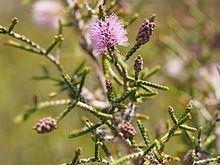 Beaufortia micrantha httpsuploadwikimediaorgwikipediacommonsthu