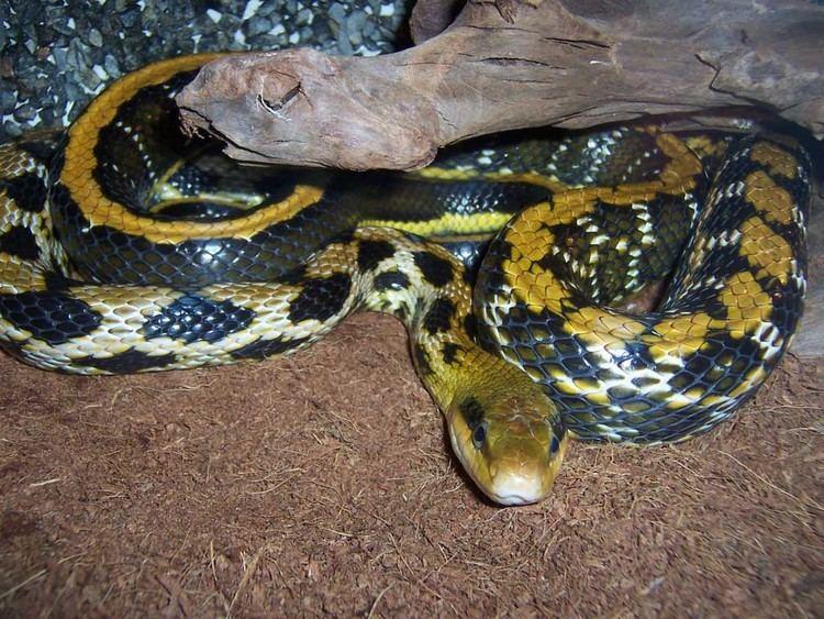 Beauty rat snake httpswwwreptariumczcontentphoto0303000015