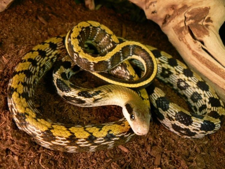 Beauty rat snake Beauty Rat Snake Facts and Pictures Reptile Fact