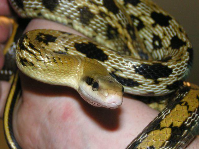 Beauty rat snake Beauty rat snake Wikipedia