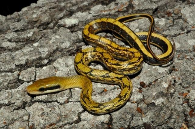Beauty rat snake Mocquard39s Beauty Snake Orthriophis taeniurus mocquardi