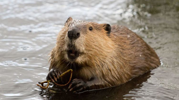 Beaver The Plan to Make California Wet By Spreading Beavers Up and Down the