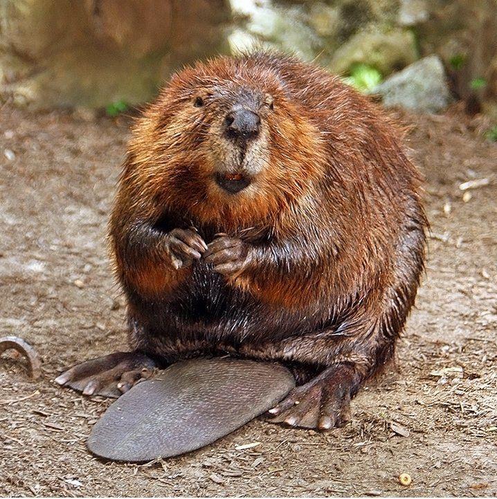 Beaver httpsuploadwikimediaorgwikipediacommons66