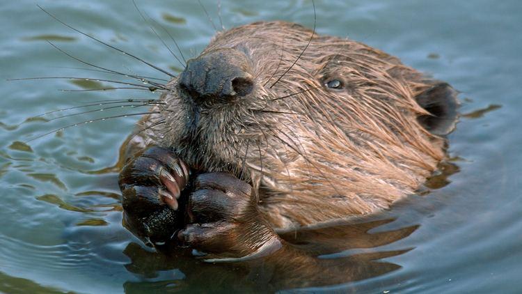 Beaver beaverchewingcloseupjpg