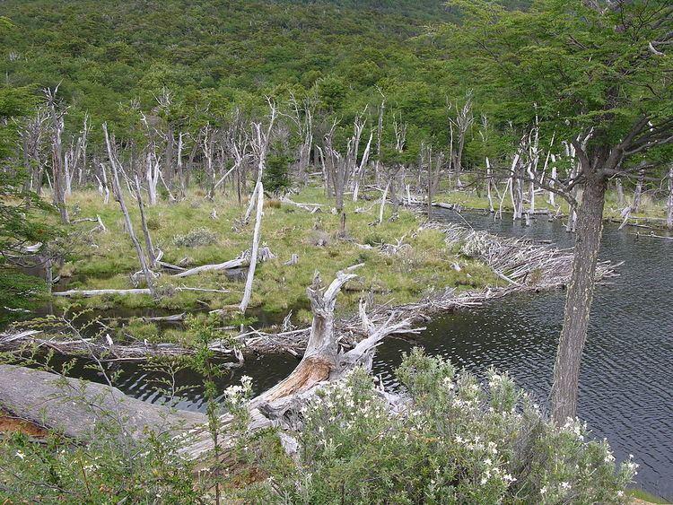 Beaver eradication in Tierra del Fuego