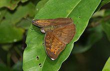 Bebearia omo httpsuploadwikimediaorgwikipediacommonsthu