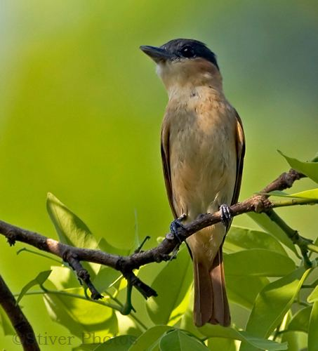 Becard Rosethroated Becard Pachyramphus aglaiae Planet of Birds