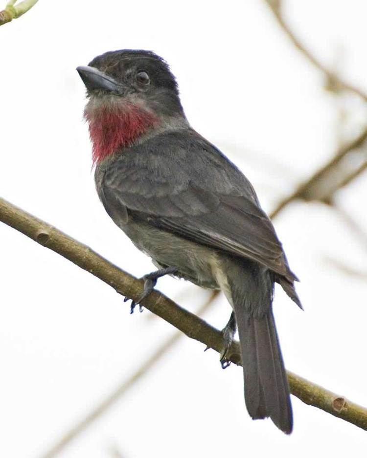 Becard Rosethroated Becard Audubon Field Guide