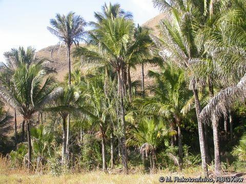 Beccariophoenix Alfredii Palmpedia Palm Grower39s Guide