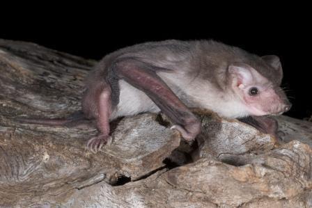 Beccari's free-tailed bat