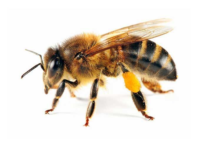 Bee 1000 images about HoneyBumble Bee on Pinterest Knee meaning