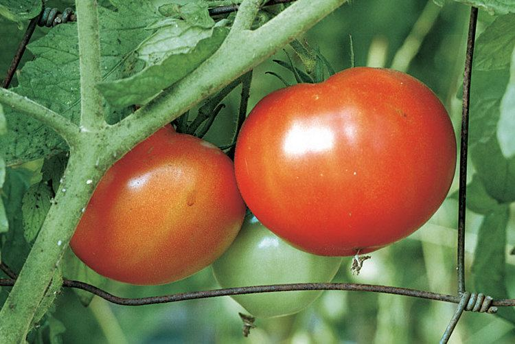 Beefsteak tomato How to Grow Beefsteak Tomatoes Vegetable Gardener