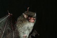 Beelzebub's tube-nosed bat httpsuploadwikimediaorgwikipediacommonsthu