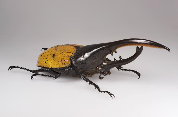 Beetle Beetle Wikipedia