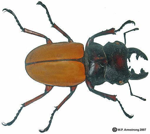 Beetle - Alchetron, The Free Social Encyclopedia
