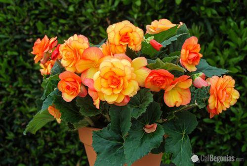 Begonia Alchetron The Free Social Encyclopedia