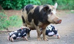 Belarus Black Pied pig mediacacheak0pinimgcom736x05ebb205ebb24f2