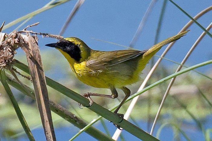 Belding's yellowthroat wwwmangoverdecomwbgimages00000020532jpg