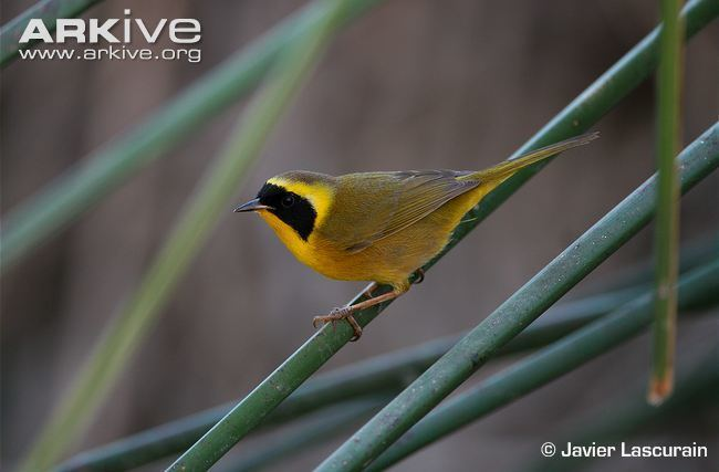 Belding's yellowthroat Belding39s yellowthroat videos photos and facts Geothlypis