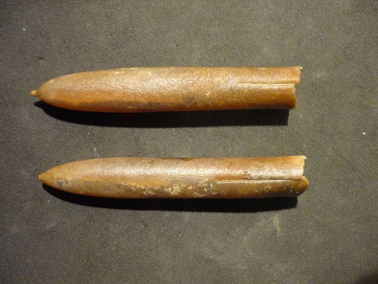 Belemnitella Belemnitella mucronata Schlotheim 1813 Members Gallery The