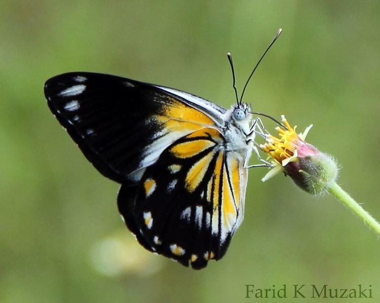 Belenois java Belenois java Lepidoptera dan Odonata Surabaya