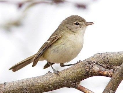 Bell's vireo Bell39s Vireo Identification All About Birds Cornell Lab of
