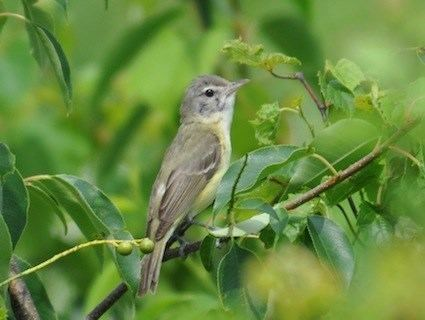 Bell's vireo httpswwwallaboutbirdsorgguidePHOTOLARGEbe