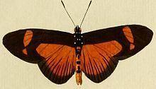 Bematistes epaea httpsuploadwikimediaorgwikipediacommonsthu
