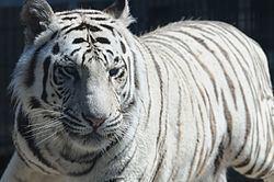 Bengal httpsuploadwikimediaorgwikipediacommonsthu