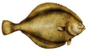 Bering flounder wwwarcticuoguelphcacplorganismsfishimagesb