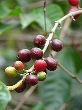 Berry (botany) httpsuploadwikimediaorgwikipediacommonsthu