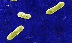 Betaproteobacteria Betaproteobacteria Wikipdia a enciclopdia livre