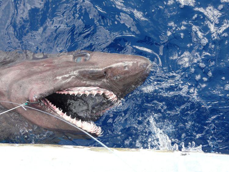 Bigeye sand tiger Bigeye Sand Tiger Shark Fishermanseye Flickr