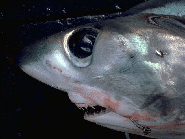 Bigeye thresher Bigeye thresher shark