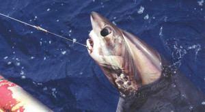 Bigeye thresher Big Threats to the Bigeye Thresher Defenders of Wildlife Blog
