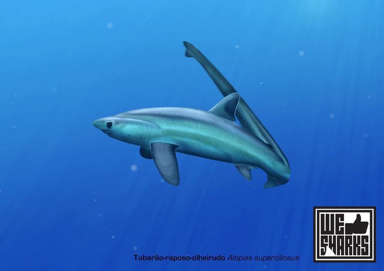 Bigeye thresher Big Eye Thresher Shark by omnicogni on DeviantArt