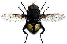 Bill Gates' flower fly httpsuploadwikimediaorgwikipediacommonsthu