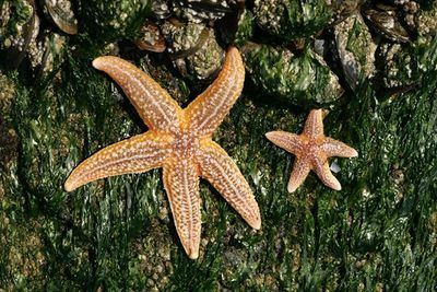Bioindicator Common starfish can act as a bioindicator for heavy metal pollution