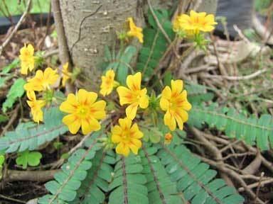 Biophytum sensitivum Biophytum sensitivum Gardentia