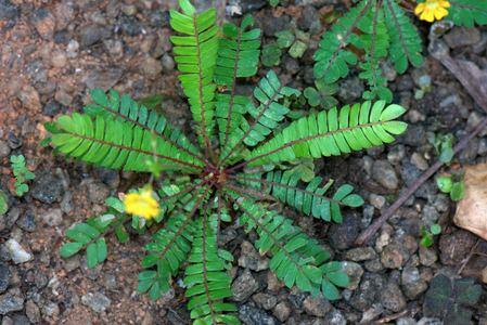 Biophytum sensitivum Biophytum sensitivum L DC Species India Biodiversity Portal
