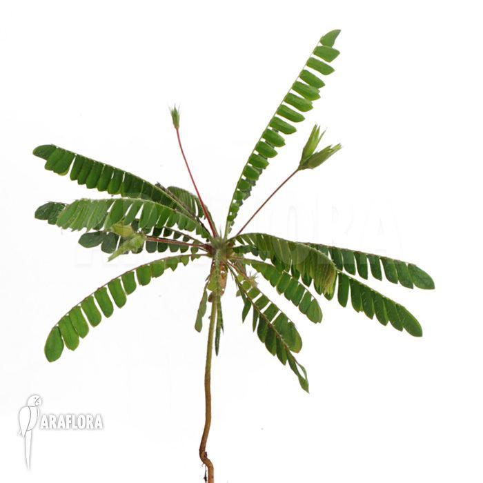 Biophytum sensitivum Araflora exotic flora amp more Biophytum sensitivum 39Medium plant39